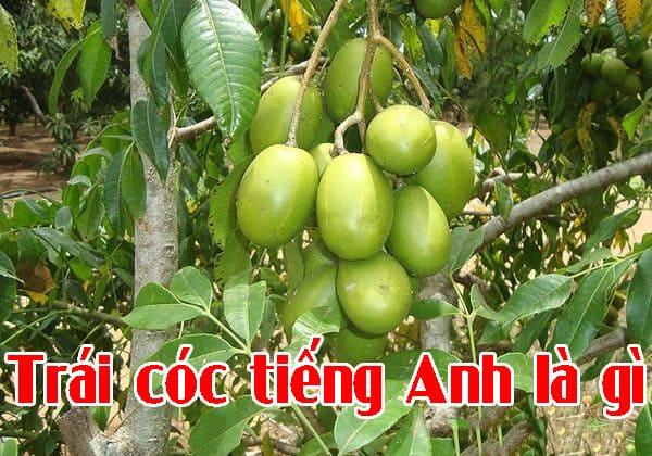 Trái cóc tiếng Anh là gì
